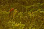 Scarlet Macaw (Ara macao) in the canopy at the Napo Wildlife Center in Yasuni National Park, Francisco de Orellana Province.