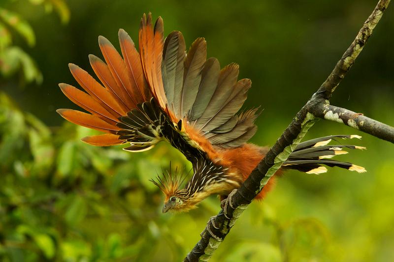 Hoatzin (Opisthocomus hoazin) above Anangu creek in Orellana Province, Ecuador.