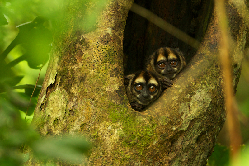 Night Monkeys (Aotus vociferans) in a tree cavity along a creek south of Napo Wildlife Center in Yasuni National Park, Orellana Province, Ecuador.