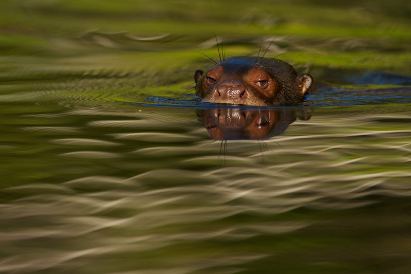 Giant River Otter (Pteronura brasiliensis) in Anangu creek in Yasuni National Park, Orellana Province, Ecuador.