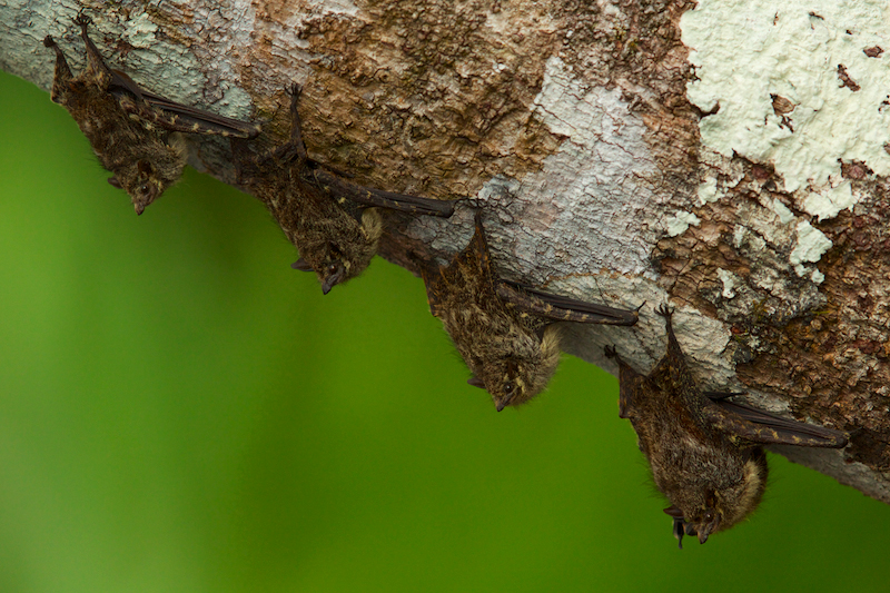 Long-nosed Bats on a tree trunk over the Anangu lagoon in Orellana Province, Ecuador.