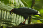 Slate-colored Hawk (Leucopternis schistaceus) eating a frog above Anangu creek, Yasuni National Park, Orellana Province, Ecuador.