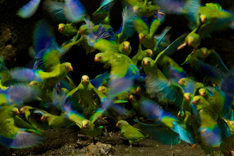 Cobalt-winged Parakeets (Brotogeris cyanoptera) eating clay at clay lick east of Anangu and south of the Napo River, Yasuni National Park, Orellana Province, Ecuador.