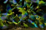 Cobalt-winged Parakeets (Brotogeris cyanoptera) eating clay at clay lick east of Anangu and south of the Napo River, Yasuni National Park, Orellana Province, Ecuador.
