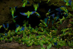 Cobalt-winged Parakeets (Brotogeris cyanoptera) eating clay at clay lick east of Anangu and south of the Napo River.