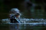 Giant River Otter (Pteronura brasiliensis) in Anangu creek, Yasuni National Park, Orellana Province, Ecuador.