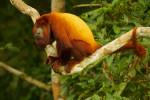 Red Howler Monkey (Alouatta seniculus) near the canopy tower at the Tiputini Biodiversity Station, Orellana Province, Ecuador.