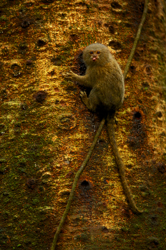 Pygmy Marmoset (Callithrix pygmaea) feeding on sap in Yasuni National Park, Orellana Province, Ecuador.