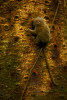 Pygmy Marmoset (Callithrix pygmaea) feeding on sap in Yasuni National Park, Orellana Province, Ecuador.