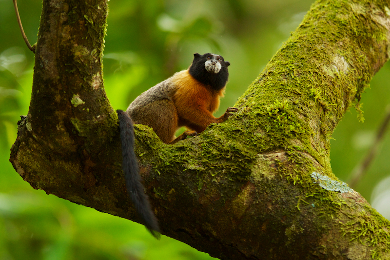 Golden-mantled Tamarin (Saguinus tripartitius) at the Tiputini Biodiversity Station, Orellana Province, Ecuador.