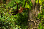 A female Woolly Monkey (Lagothrix poeppigii) takes a huge leap in Orellana Province, Ecuador.