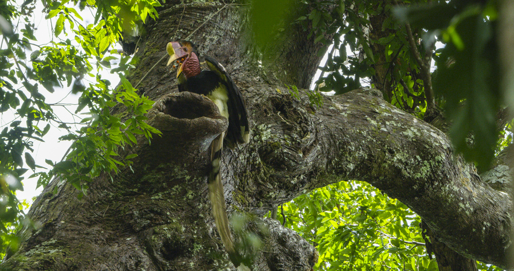 Tim is featured in the video Inside the Mission to Save the Rare Helmeted Hornbill From Poachers.  This video goes along with his National Geograhpic article published in September 2018.