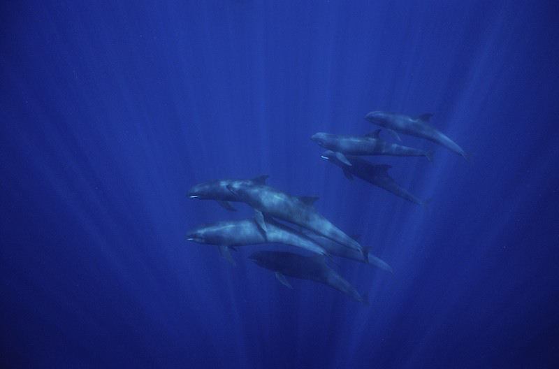 A pod of melon-headed whales (Peponocephala electra) swimming underwater by Nuku Hiva Island in French Polynesia.