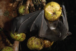 A musky fruit bat (Ptenochirus Sp.) eating a fig in Sierra Madre Natural Park, Luzon, Philippines.