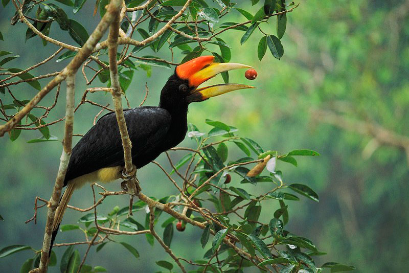 A young rhinoceros hornbill (Buceros rhinoceros) tosses up a fig from a strangler fig tree (Ficus dubia) before swallowing it.