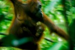 A wild female Bornean Orangutan traveling through the forest with her baby.