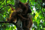 A wild Bornean Orangutan baby reaches out for his mother.