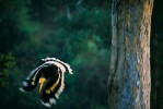 Great hornbill (Buceros bicornis) male swoops down as he leaves the nesting tree.