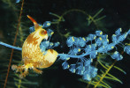 Nudibranch (Nembrotha lineolata) grazes on colonial tunicates.  
