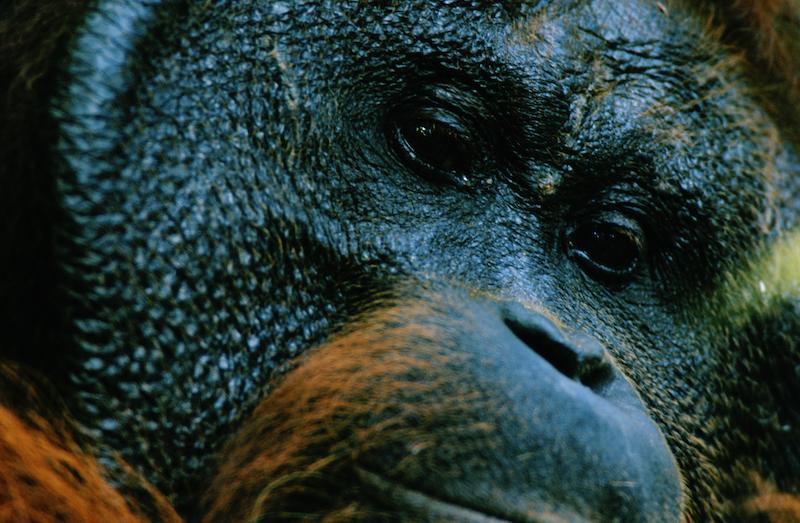 Portrait a wild adult male orangutan (Pongo pygmaeus).