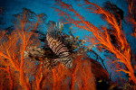 A Lionfish hovers in a seafan in a view looking toward the surface of the water near the smaller island of Fiabacet.