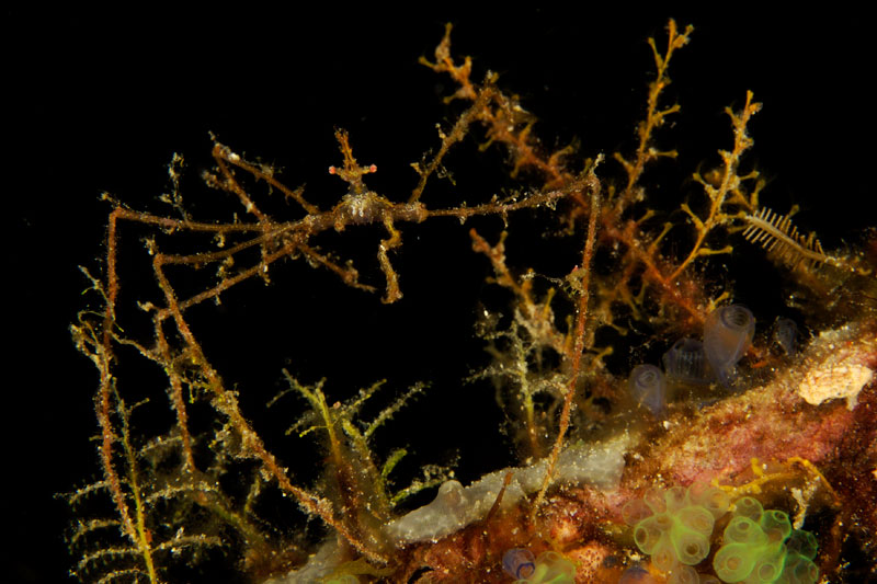 Near the smaller island of Fiabacet this Spider crab has hydroid polyps placed on its legs for camouflage.