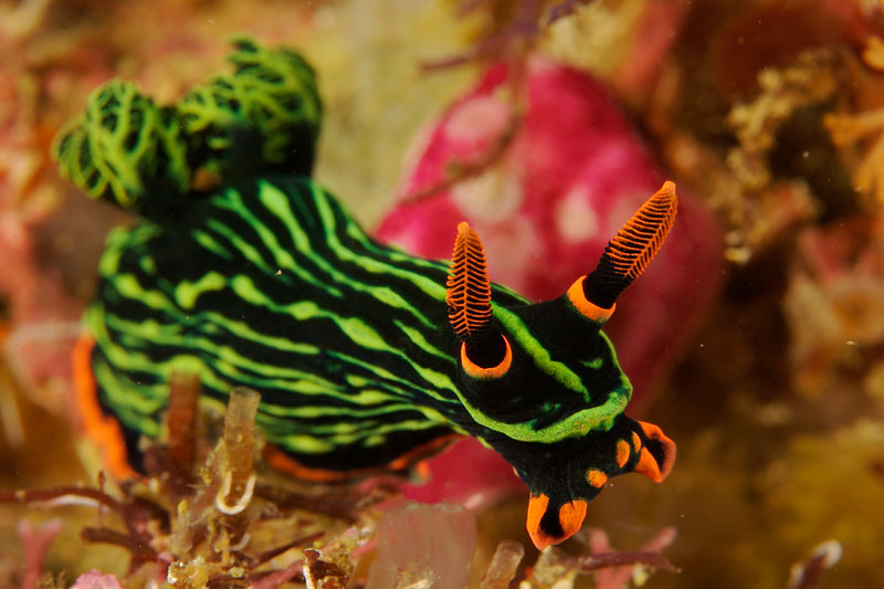 Nudibranch (Nembrotha kubaryana) in Triton Bay.