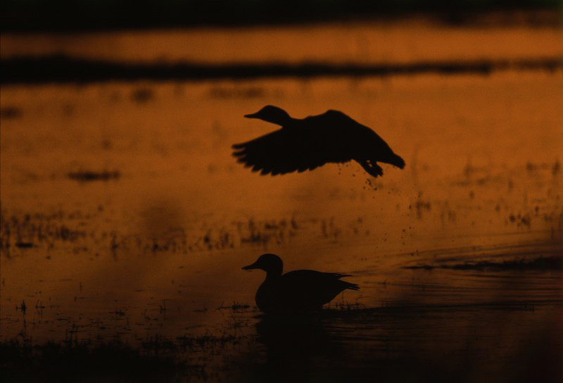 A silhouetted duck landing at twilight in water near a seated duck in Sacramento National Wildlife Refuge, California, USA.