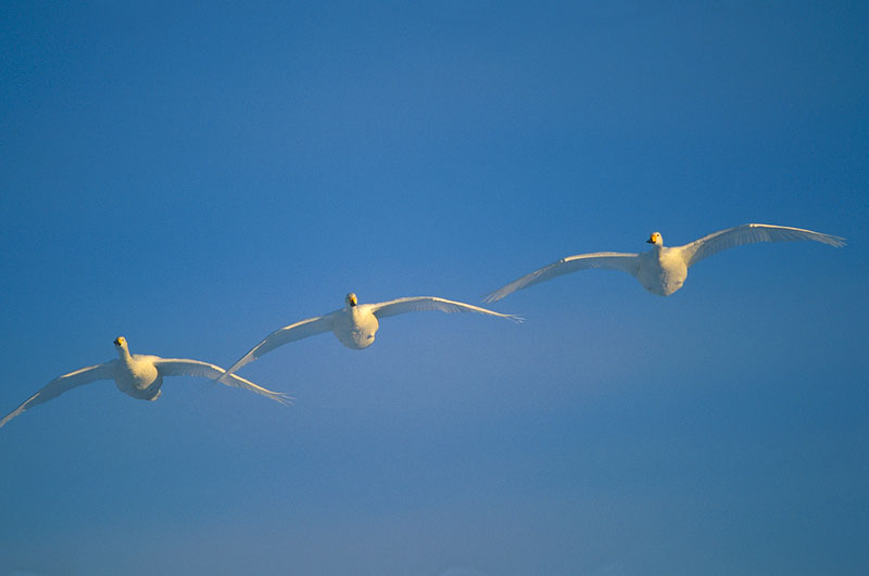 Three Whooper Swans in flight.