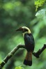 A young endangered Visayan Tarictic Hornbill (Penelopides panini panani) perched on a tree branch.Panay Island, Philippiens.