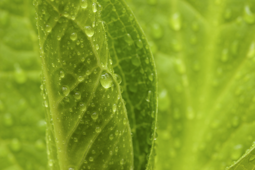 Skunk cabbage leaves coated in raindrops in the woods near Walden Pond.Aluminum prints start at 24{quote}.  Please contact Office@TimLaman.com to order.