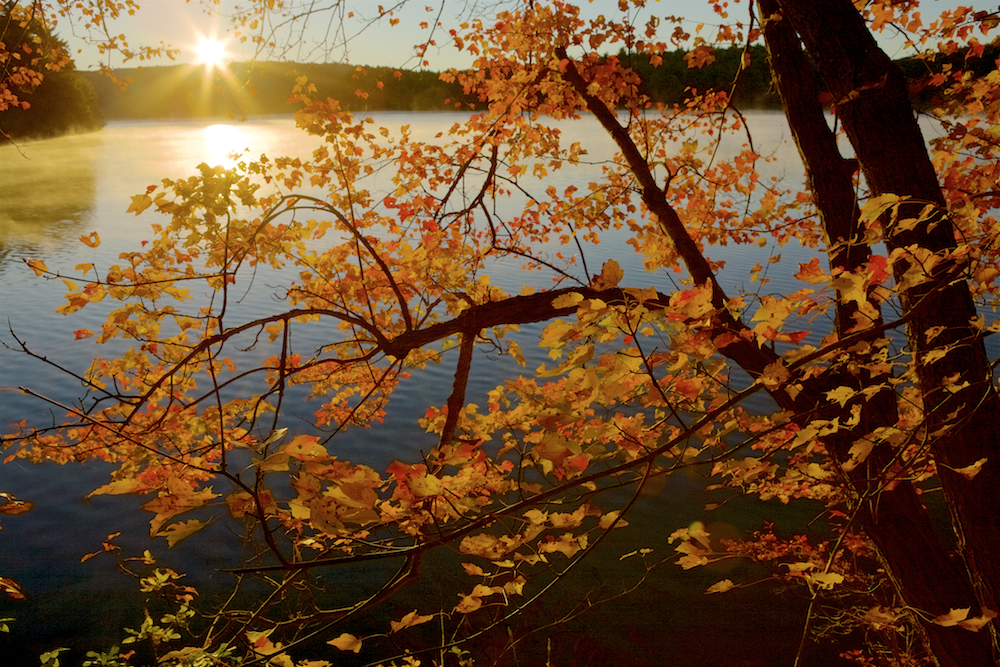 On a perfect fall day, sunrise lights up a maple tree along the shore of Walden Pond.Aluminum prints start at 24{quote}.  Please contact Office@TimLaman.com to order.