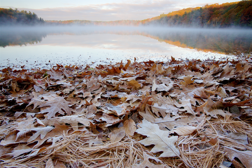 Frost covers the leaves along the shoreline of Walden Pond on a cold November morning.Engraved aluminum prints start at 24{quote}.  Please contact Office@TimLaman.com to order.