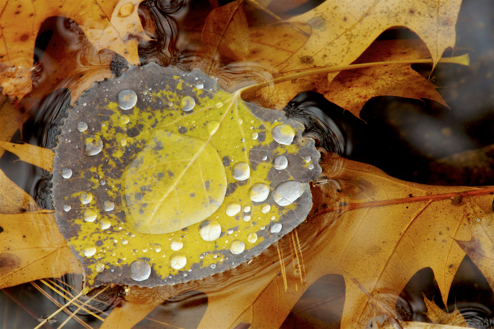 Raindrops bead up on an aspen leaf floating in the shallows of Walden Pond with oak leaves below.Aluminum prints start at 24{quote}.  Please contact Office@TimLaman.com to order.
