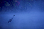 A great blue heron hunts at dusk in the shallows of Walden Pond during a storm.Aluminum prints start at 24{quote}.  Please contact Office@TimLaman.com to order.
