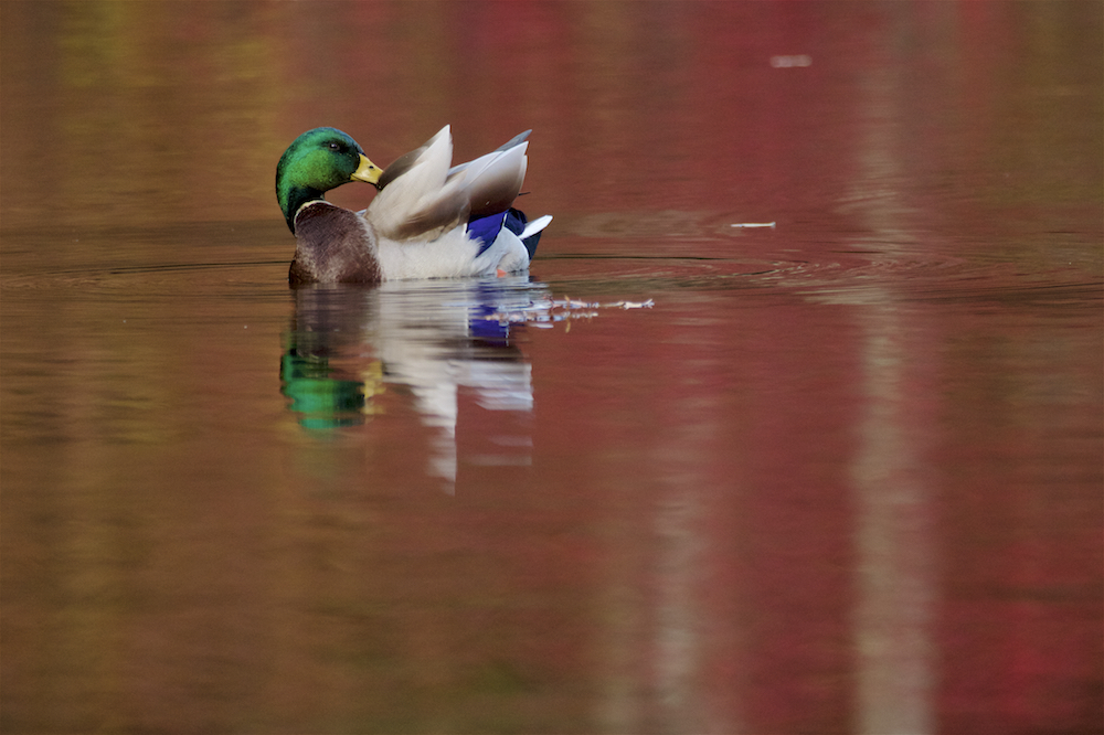 A mallard drake preens amidst the fall reflections in the flooded Wyman's Meadow, next to Walden Pond.Aluminum prints start at 24{quote}.  Please contact Office@TimLaman.com to order.