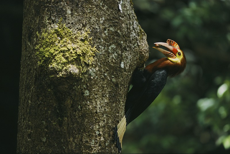 An endangered male Walden's hornbill (Aceros waldeni) delivers food to its nest.Panay Island, Philippines.