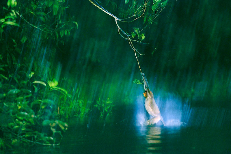 An endangered proboscis monkey (Nasalis larvatus) lands in the river when its flying leap falls short.2003 Communications Arts Awards:  Highly Commended - Editorial