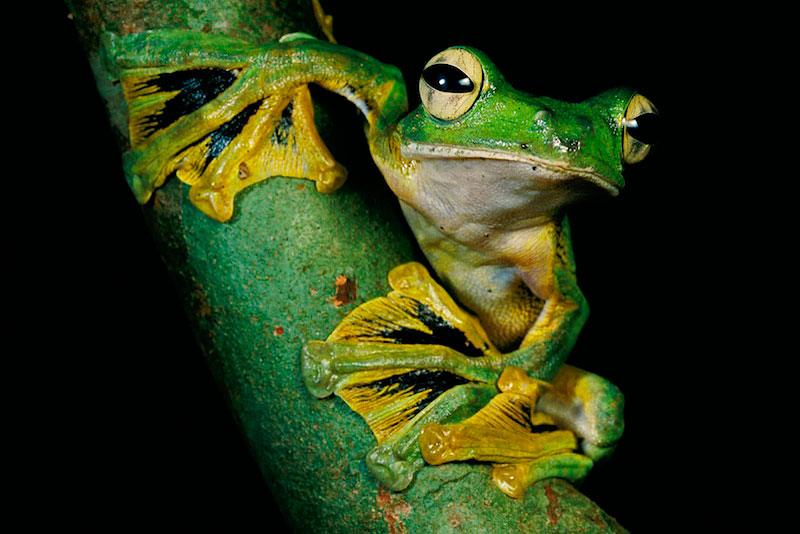 Wallace's flying frog (Rhacophorus nigropalmatus) on a lichen-covered tree.