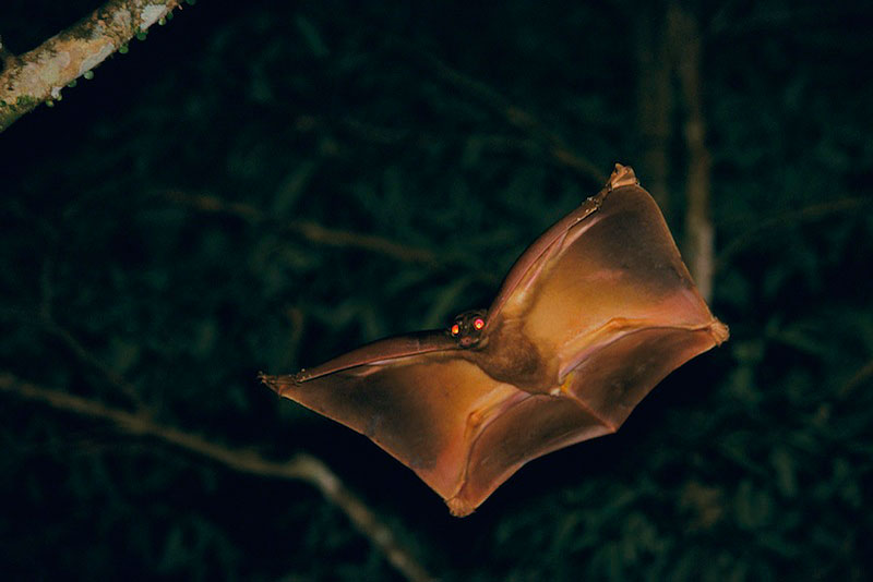 Colugo or Flying Lemur gliding between trees at night in the rain forest.2001 Wildlife Photographer of the Year :  Highly Commended - Mammals