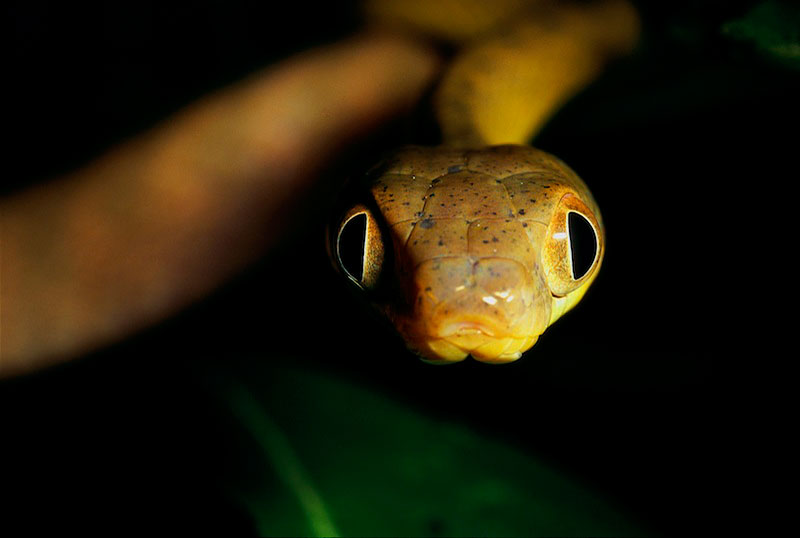 Close-up of a cat snake (Boiga sp.).  It hunts mostly frogs and lizards at night.