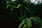 Paradise tree snake (Chrysopelea paradisi) in flight.2001 National Geographic Special Publication: 100 Best Pictures