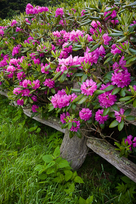 Catawba Rhododendron at Carvers Gap, Roan Mountain TN