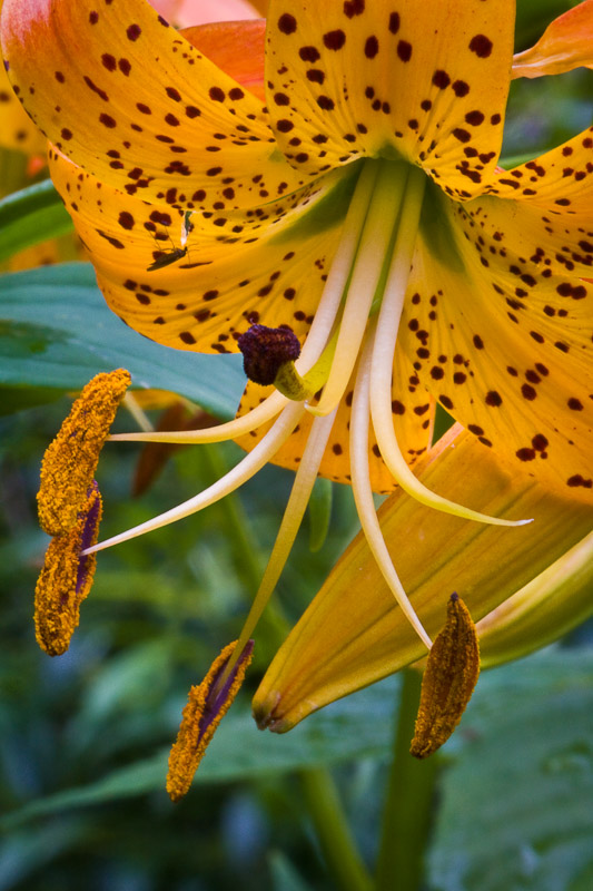 Turk's Cap Lilies along Balsam Mountain Road, Blue Ridge Parkway near Waynesville, North Carolina