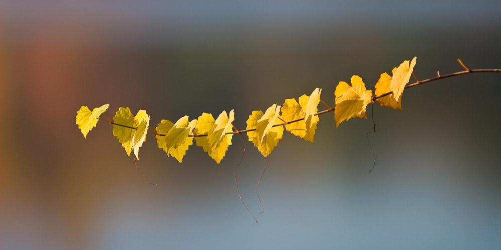 Fall leaves at Mountain Island Lake, Huntersville, NC