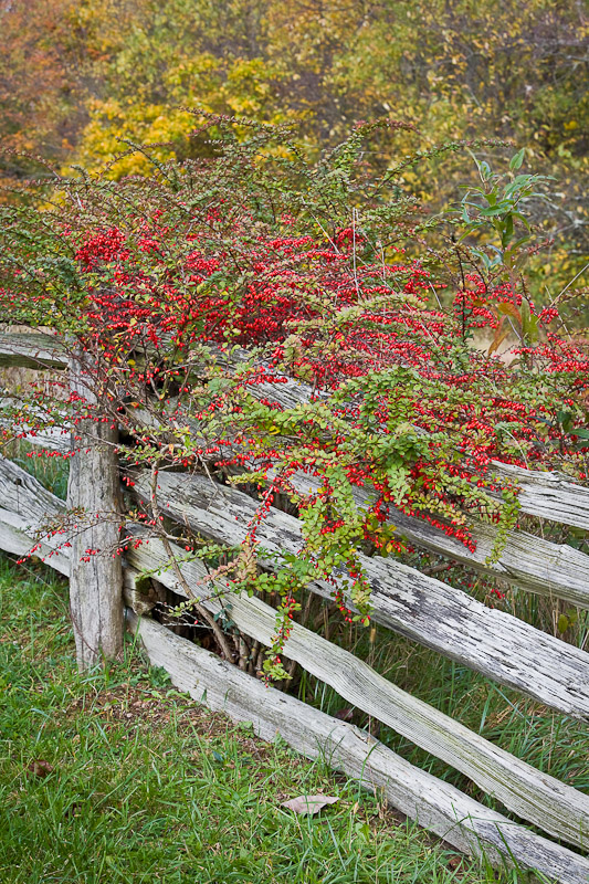 Mountain Ash berries growing on a split rail fence along the Blue Ridge Parkway near Meadows of Dan, Virginia