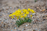 Wildflowers - I think Mountain Gumweed - At Farview Curve overlook in Rocky Mountains National Park