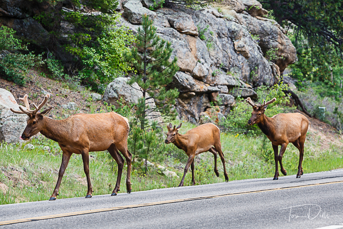 Elk along Trail Ridge Road in Rocky Mountains National Park, Colorado