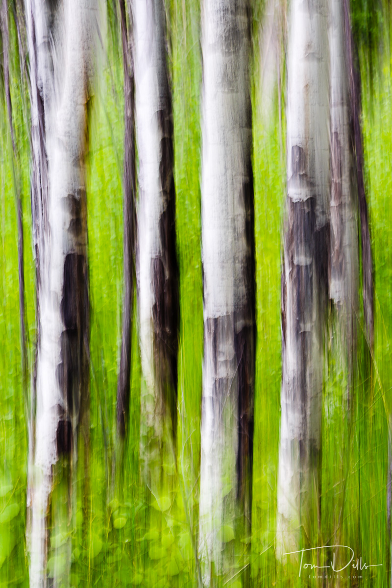 Aspen motion blur in Rocky Mountains National Park