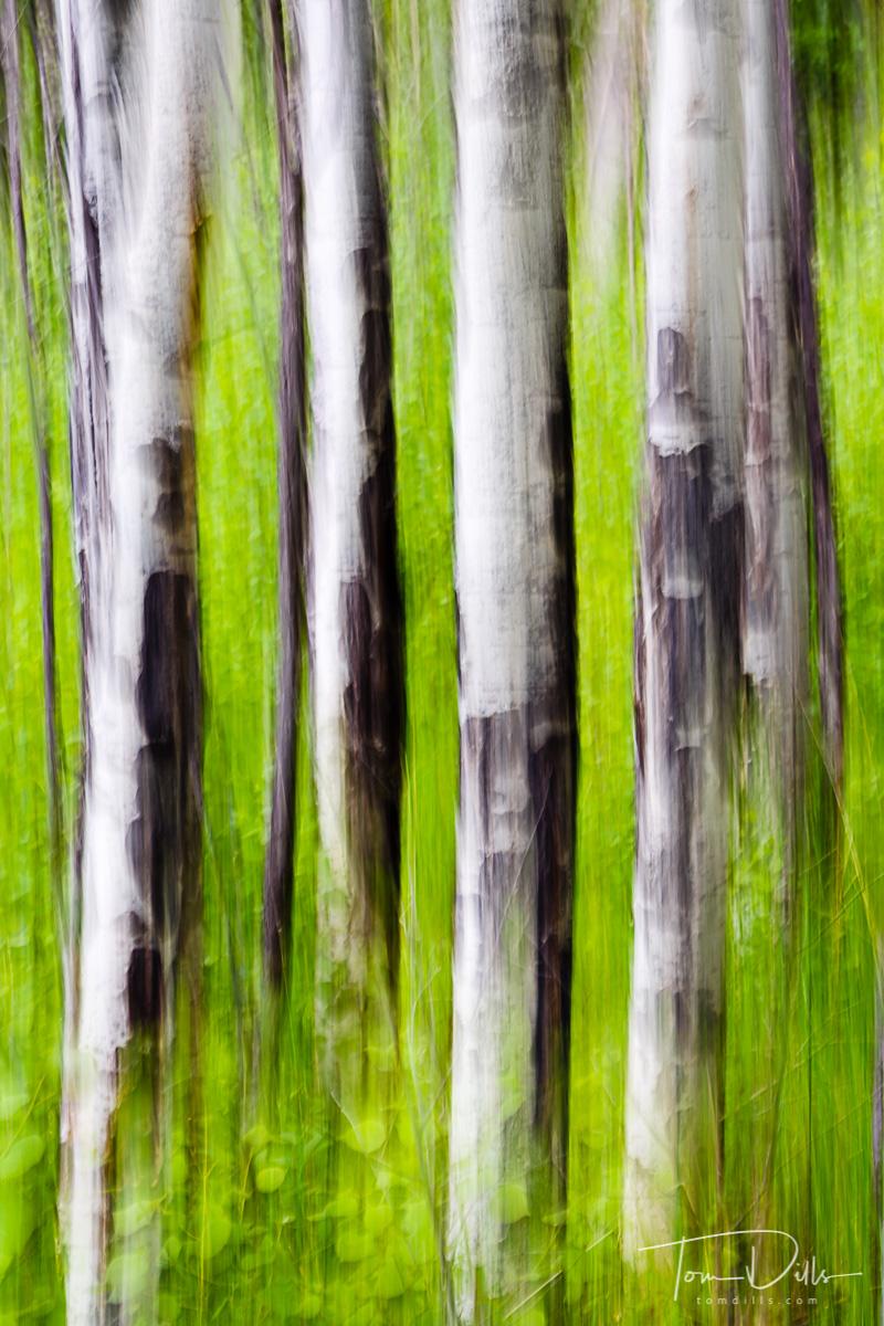 Aspen motion blur in Rocky Mountains National Park